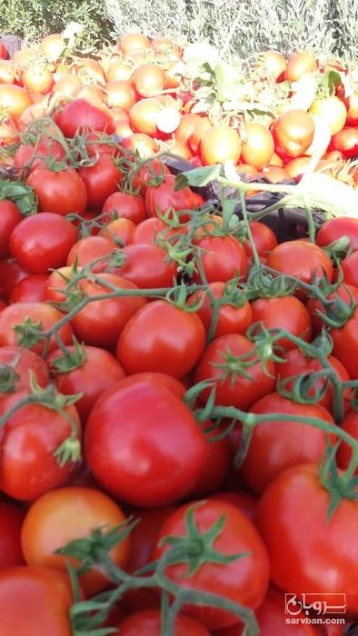 فروش گوجه فرنگی نانهمز رقم  ۶۱۸۹ | سروبان