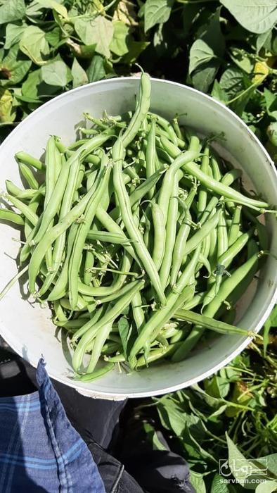 فروش لوبیا سبز   سروبان