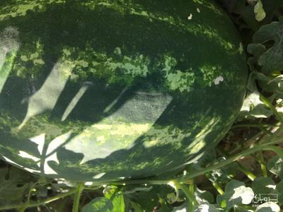 فروش هندوانه بیضی