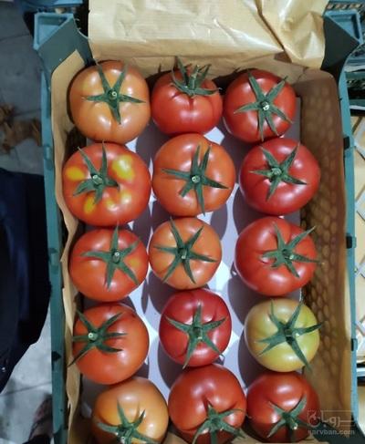 فروش گوجه دافنیس گلخانه ای