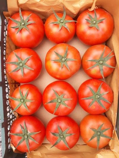 فروش گوجه فرنگی هیدروپونیک