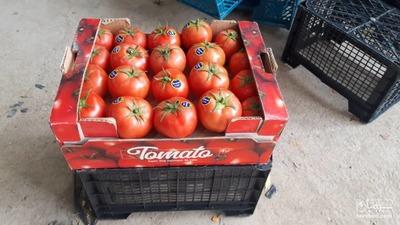 فروش گوجه فرنگی رقم دافنیس