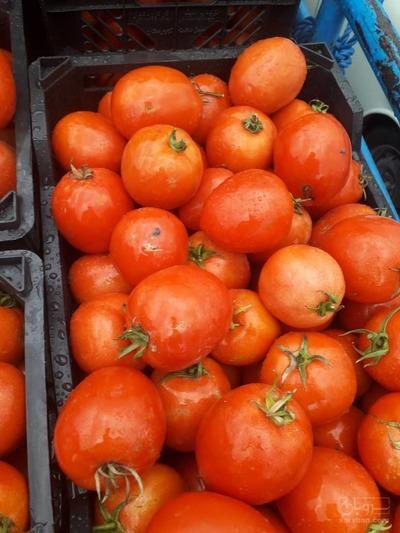 فروش گوجه فرنگی  8320