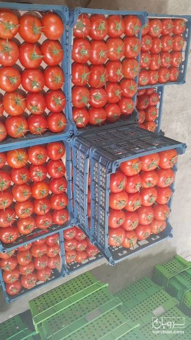 فروش گوجه فرنگی گلخانه ای دافنیس صادراتی