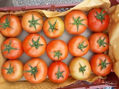 فروش گوجه فرنگی گلخانه ای