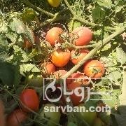فروش گوجه فرنگی بوته ای