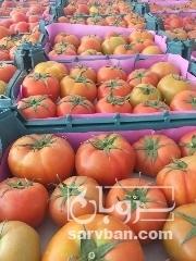 فروش گوجه گلخونهای