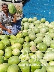 فروش هندوانه   سروبان