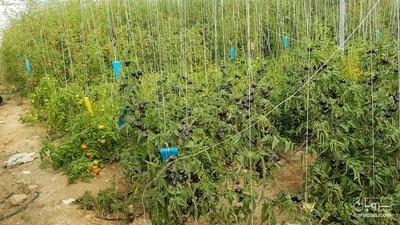 فروش گوجه فرنگی سیاه