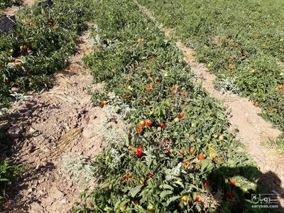 فروش گوجه فرنگی   سروبان