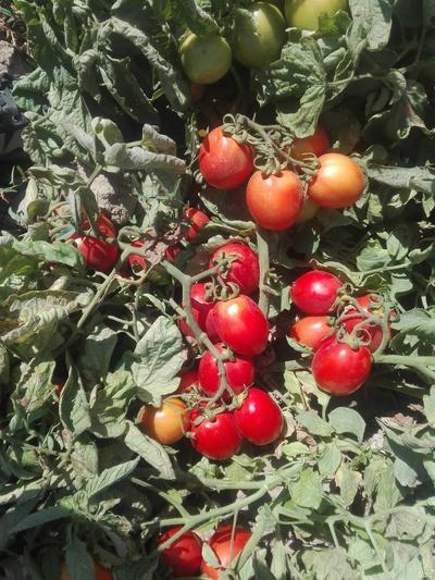 فروش گوجه فرنگی | سروبان