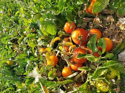 فروش گوجه فرنگی۸۳۲۰