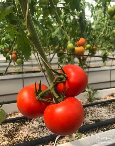 فروش گوجه فرنگی دافنیس گلخانه ای