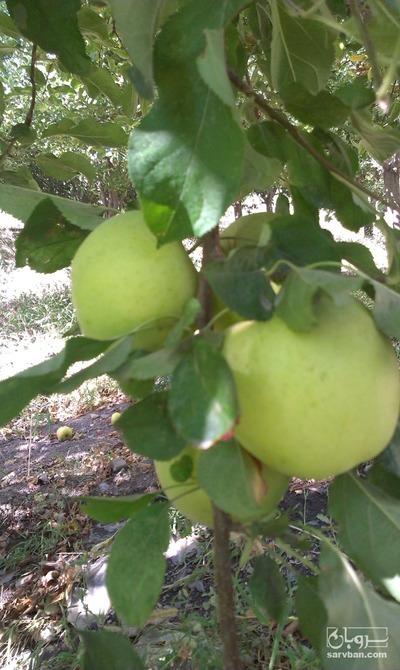 قیمت خرید عمده  سردرختی سیب