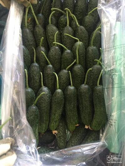 فروش خیار خاردار