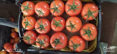 فروش گوجه فرنگی4129