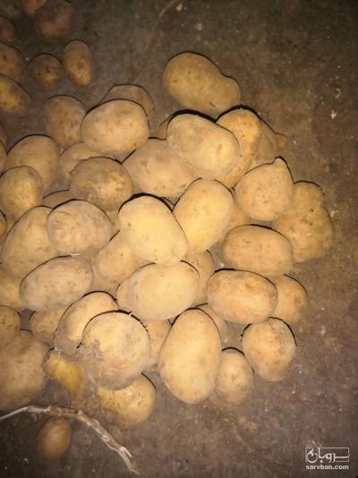 قیمت خرید عمده  سیب زمینی