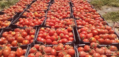 فروش گوجه فرنگی