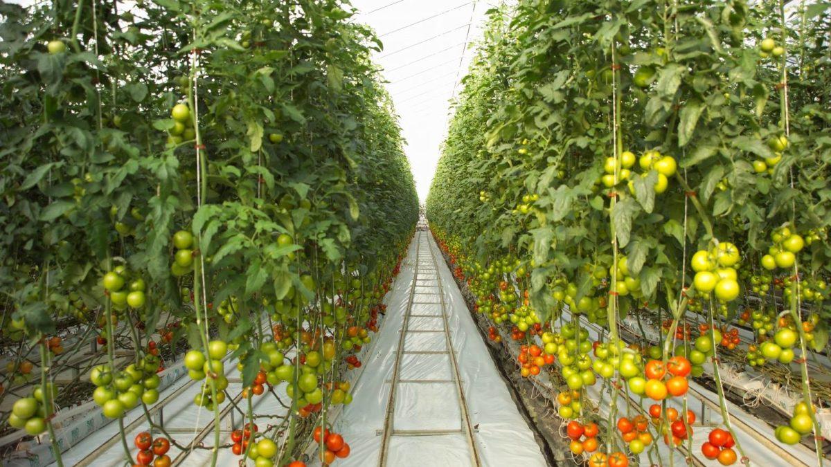 محصولات غذایی گلخانه ای سروبان