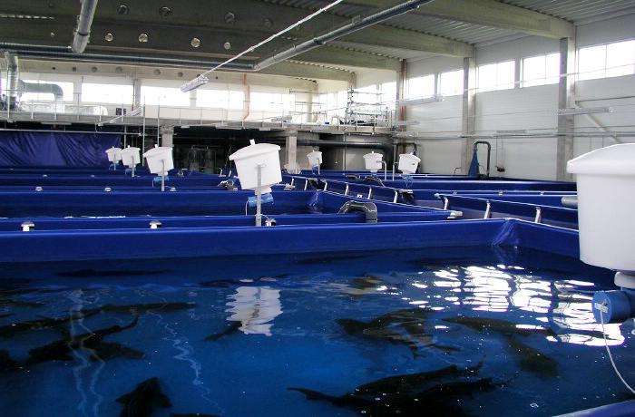 استخر پرورش ماهی خاویار سروبان