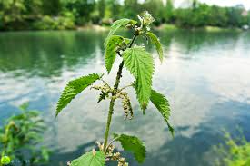گیاه گزنه حاشیه رودخانه ها سروبان sarvban