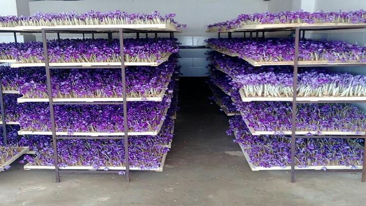 قفسه های پرورش زعفران در گلخانه سروبان