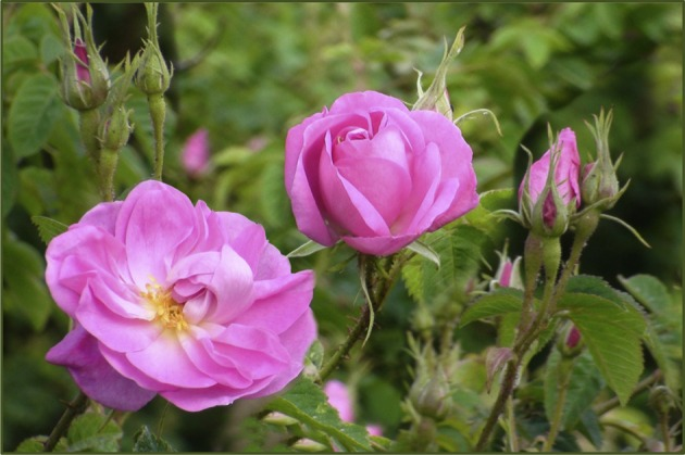 دو عدد شاخه گل محمدی مخصوص گلاب
