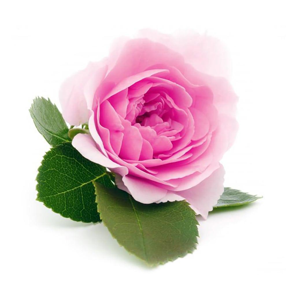 خرید گل محمدی تازه | سروبان