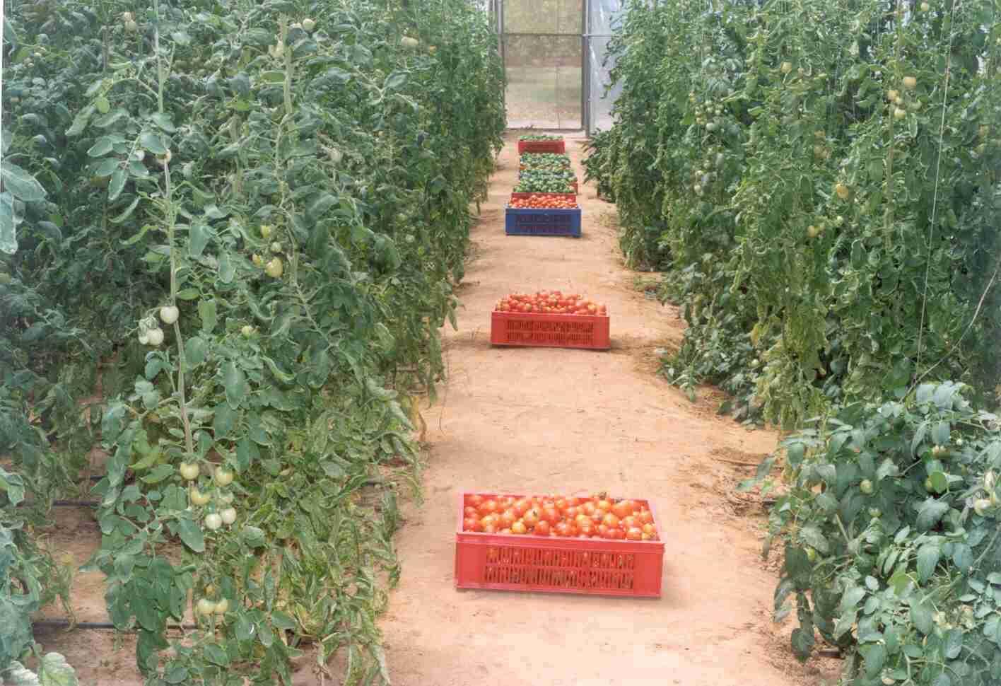 درآمد گوجه فرنگی گلخانه ای | سروبان