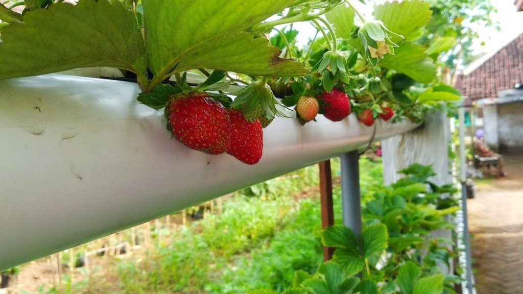 کاشت توت فرنگی هیدروپونیک